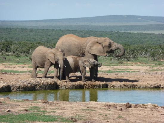 addo-elephants
