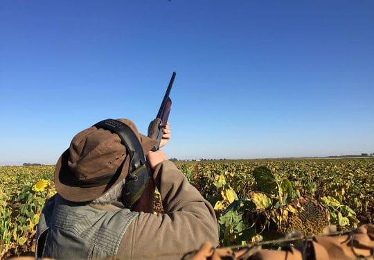 aiming high standing between sunflower